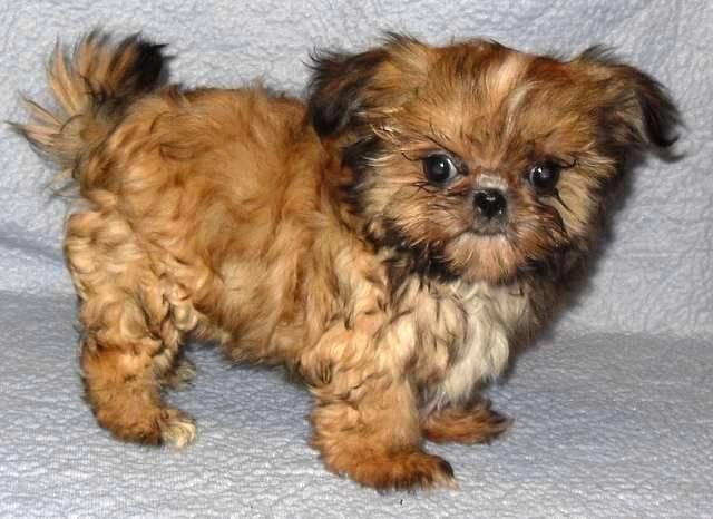 Shih Tzu Puppy Ruby 6 Weeks Old The Site Puppies – Fondos de Pantalla